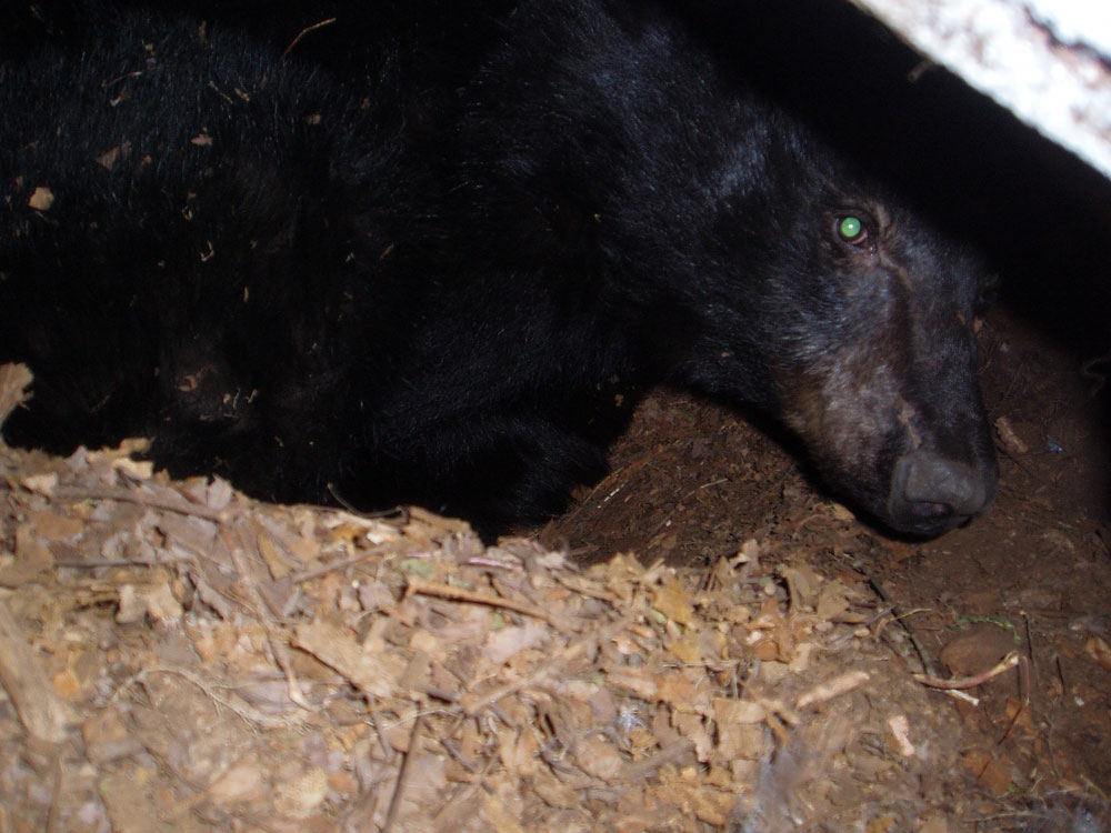 A bear in its den (Photo provided by the New York State Department of Environmental Conservation)