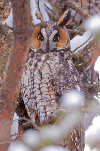A long-eared owl was one of the more rare birds identified in this year's Christmas bird count. This was only the second time in the count's history that the long-eared owl was seen or heard. (Photo provided by Larry Master, www.masterimages.org)