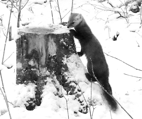 This marten was a regular visitor to Joe Hackett's hunting camp this season. Although it was very cautious visitor, it was sure to be around whenever there was a scrap of food left over.				        (Photo — Joe Hackett)