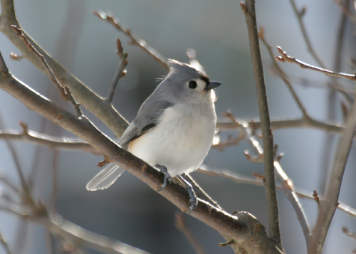A tufted titmouse was one of the more rare birds identified in this year's Christmas bird count. This was only the second time in the count's history that the long-eared owl was seen or heard. (Photo provided by Larry Master, www.masterimages.org)