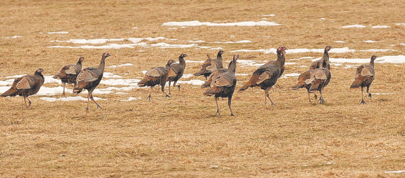 This flock of turkeys was taking advantage of a nearly snowless field to forage for food early Tuesday afternoon near Donnelly's Corners north of Saranac Lake. (Enterprise photo — Lou Reuter)