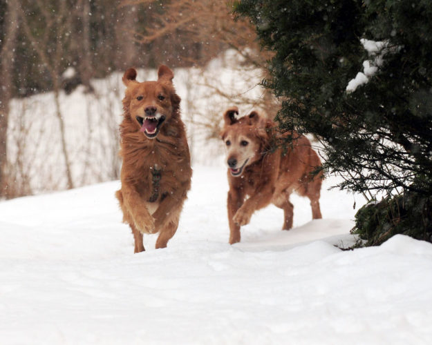 Larry takes the lead in front of his mother Sarah as they sprint through the snow in Bloomingdale Thursday  afternoon. The golden retrievers belong to Senior Sports Writer Lou Reuter, who took them outdoors for some exercise on another warm January day. (Enterprise photo — Lou Reuter)