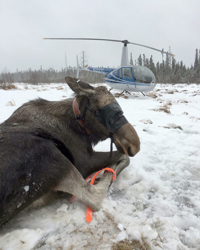 When contractors net or tranquilize a moose, they secure its legs and cover its eyes to keep the animal calm and protect the researchers. (Photo by David Rivers, Native Range Capture Services)