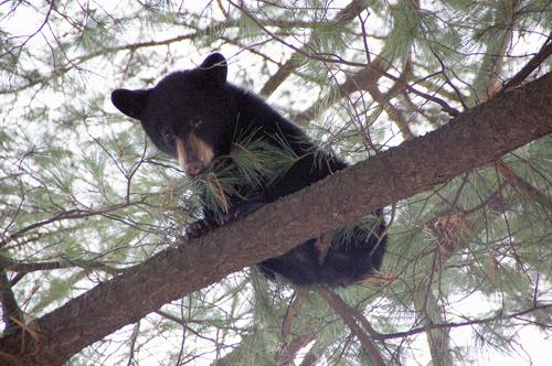 A black bear cub sits on the limb of a white pine tree. (Enterprise file photo)