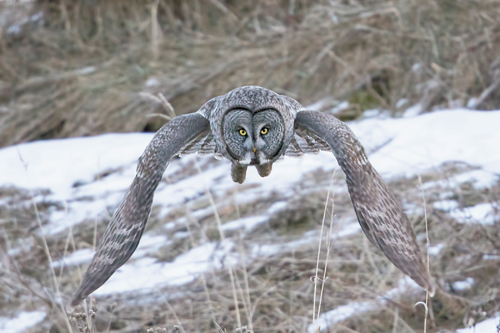 Larry Master took this photograph of a great gray owl in flight earlier this week in Keene, where the large bird had been feeding on voles and mice. The owl has drawn birders from around the country to the area. (Photos provided by Larry Master — Masterimages.org)
