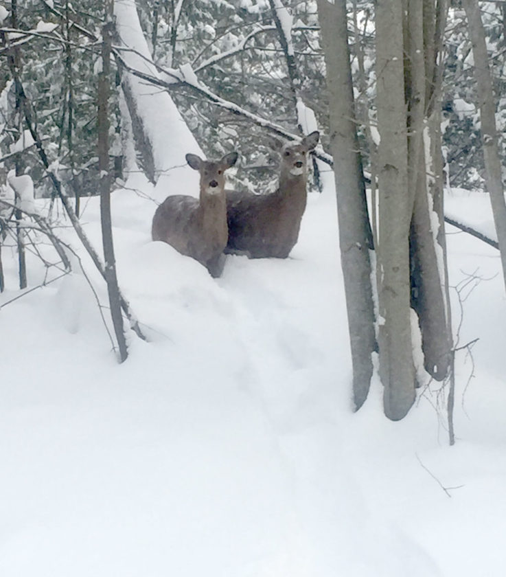Two deer make their way through the deep snow in Tupper Lake this morning as the village got more than 2 feet of snow Tuesday. (Enterprise photo — Brittany Proulx)