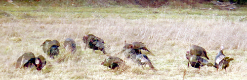 Wild turkeys were declared extinct in New York by the late 1840s. Efforts beginning in the late 1950s, however, have successfully restored the birds to all corners of the state, including the Adirondacks.  (Photo — Joe Hackett)
