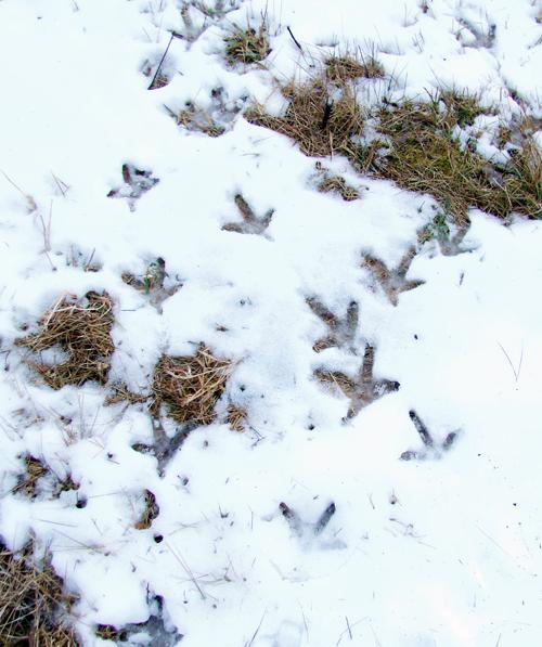 Turkey tracks can be seen in the snow. (Photo — Joe Hackett)