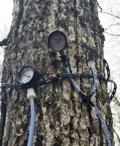 Maple sap tubing trials were conducted in sugar bushes in five northern New York counties. (Photo provided — Michael Farrell)