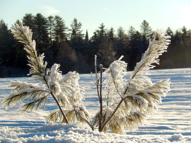 Pine branches poke out of the snow Sunday morning on Rainbow Lake Road. (Photo provided — Katie Bradford Hall)