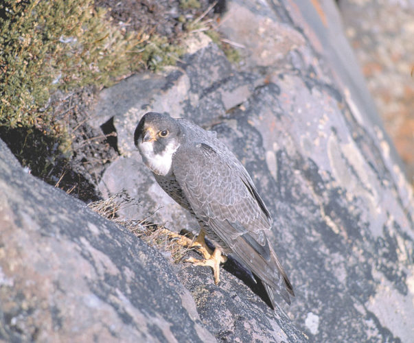 A peregrine falcon perches on a cliff. (Photo provided by the U.S. Fish and Wildlife Service)