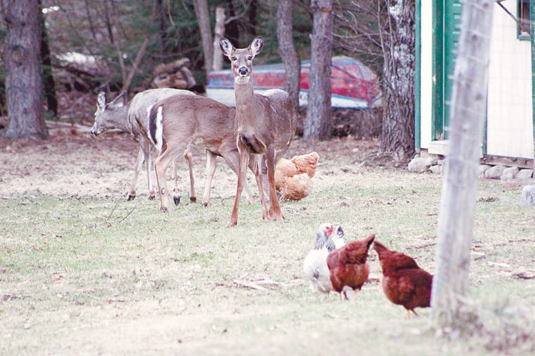 A trio of white-tailed deer enjoy an evening snack among a flock of chickens in Vermontville Tuesday. (Enterprise photo — Justin A. Levine)