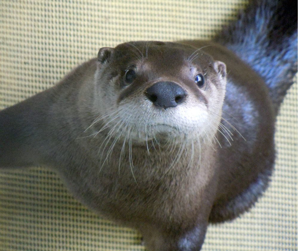 Remy the otter (Photo provided by The Wild Center)