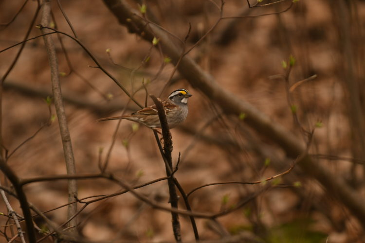 A white-throated sparrow finds a perch on a wooded hillside during the late afternoon hours Wednesday in Saranac Lake. (Enterprise photo — Lou Reuter)