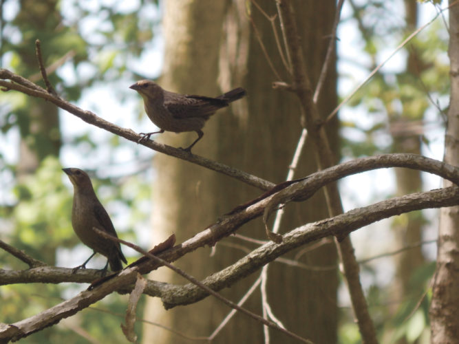 Two female brown-headed cowbirds perch on a branch at Forrest Nature Preserve, 701 E. CR 6. Photos such as this may be entered in Seneca County Parks District's 17th annual photo contest by June 30.