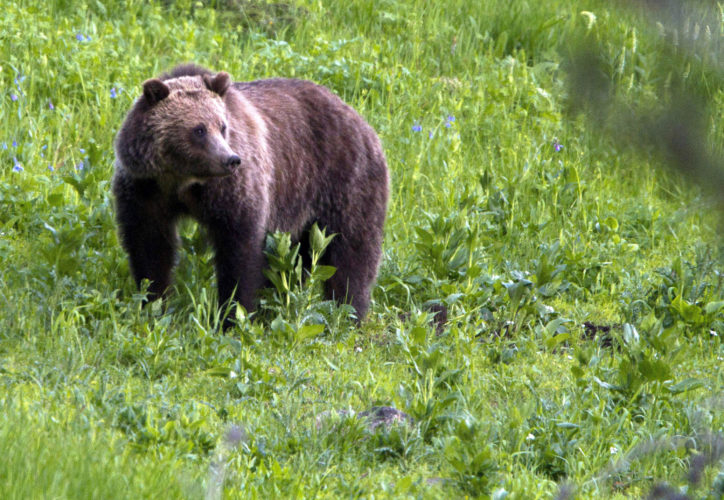 This July 6, 2011, file photo shows a grizzly bear roaming near Beaver Lake in Yellowstone National Park, Wyo. Kids in remote schools in grizzly bear territory might need protection from the animals, so Donald Trump's choice to run the education department, Betsy DeVos, thinks it could be appropriate for teachers and administrators there to carry guns.(AP Photo/Jim Urquhart, File)