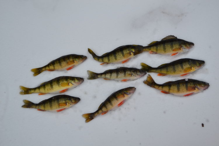 Courtesy photo The perch line up after a day of ice fishing.