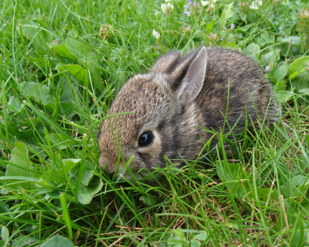 DNR photo A baby rabbit hides in the grass. The only time a baby animal may be removed from the wild is when you know the parent is dead or the animal is injured.