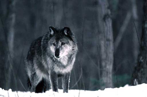 A wolf stands in the snow near Ishpeming, Mich., in this photo from the Michigan Department of Natural Resources. (AP Photo/Michigan Department of Natural Resources, Dave Kenyon)