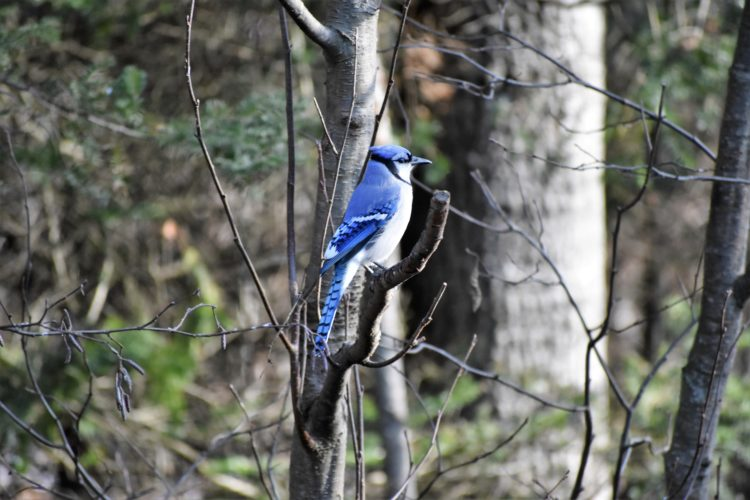 Betsy Bloom Photo The blue jay occurs from southern Canada through the eastern and central United States south to Florida and northeastern Texas. A tally of winter birds is set for Dec. 17 in the Iron Mountain area.
