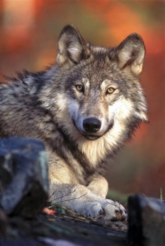 Undated photo provided by the U.S. Fish and Wildlife Service shows a gray wolf. (AP Photo/U.S. Fish and Wildlife Service, File)