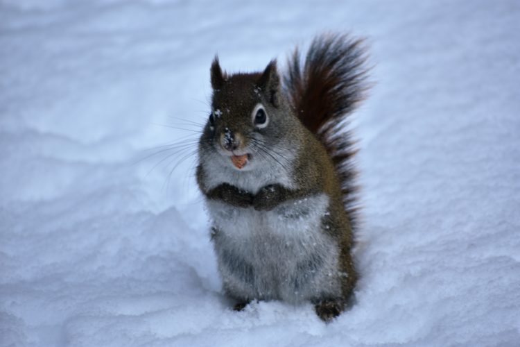 A squirrel stretches out in search of winter grub. Betsy Bloom Photo