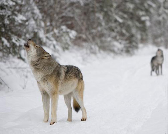 WOLVES HOWL ON a trail in Michigan's Upper Peninsula. A new report from the University of Wisconsin-Madison contends the Wisconsin Department of Natural Resources underreported the number of wolves poached in that state in the past three decades. (Michigan Department of Natural Resources photo)