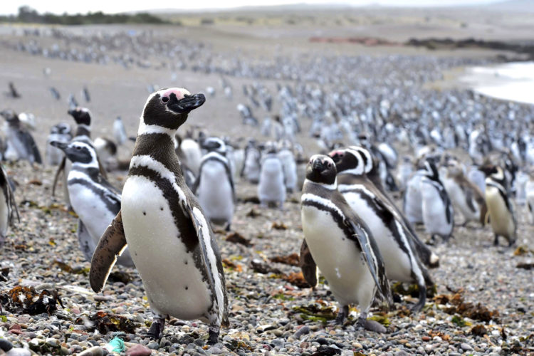 Penguins walk on a beach at Punta Tombo peninsula in Argentina's Patagonia on Friday.
