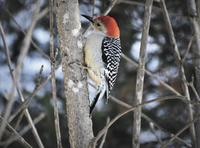 Betsy Bloom Photo The red-bellied woodpecker is a relatively recent arrival to the Upper Peninsula that likely has taken advantage of the growing popularity of feeding birds to expand its range northward over the past few decades. This one was in the backyard at Six Mile Lake in north Dickinson County, waiting for a turn at the suet cage.