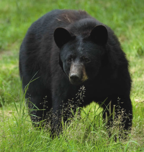 Michigan's bear hunting application period for 2017 opens May 1.