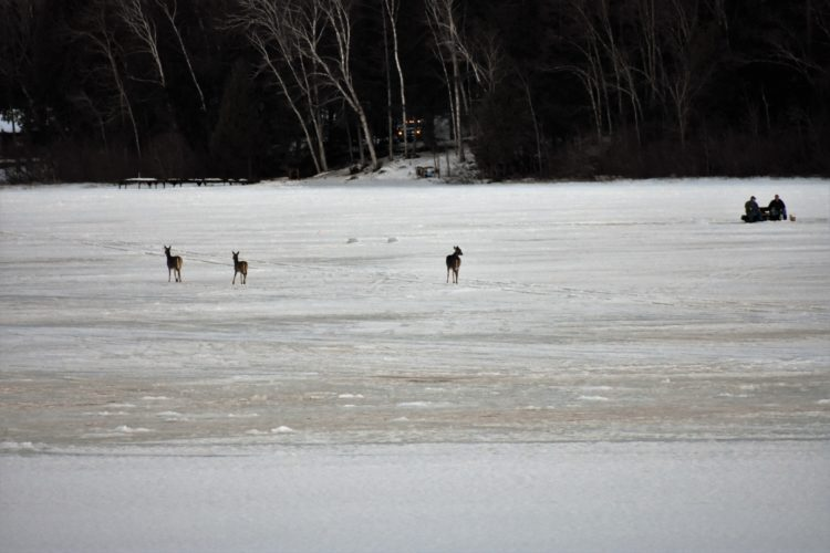 Three DEERCROSS Six Mile Lake earlier this winter. Betsy Bloom Photo