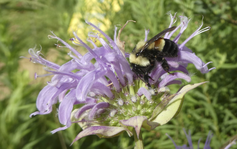 This 2016 file photo provided by The Xerces Society shows a rusty patched bumblebee in Minnesota. The U.S. Fish and Wildlife Service on Tuesday officially designated the bee an endangered species. It is the first bee species in the continental U.S. to receive federal protection under the Endangered Species Act. (Sarah Foltz Jordan/The Xerces Society via AP, File)