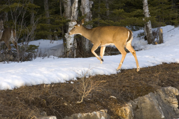 The Deer Habitat Improvement Partnership Initiative will fund 11 projects across 13 counties in the Upper Peninsula. Michigan DNR Photo