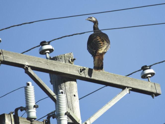 A wild turkey sizes its surroundings on Hughitt Street in Iron Mountain. Betsy Bloom Photo