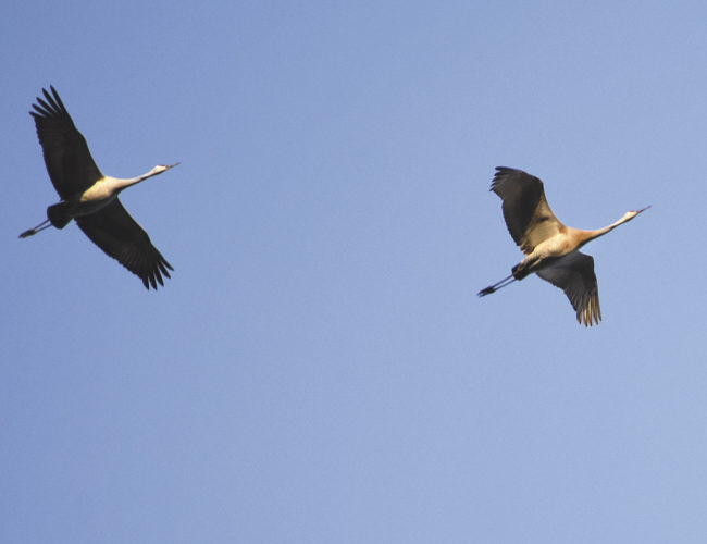 A pair of sandhill cranes do a flyover at Six Mile Lake.  Betsy Bloom Photo