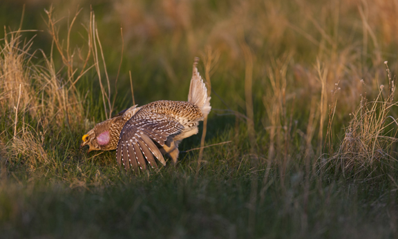 In this photo provided by The Nature Conservancy, a male sharp-tailed grouse is shown in a courting ritual on a lake at Cross Ranch Preserve, located in central North Dakota. Wildlife biologists plan to release sharptails from Minnesota into the Chequamegon-Nicolet National Forest in northern Wisconsin in hopes of sustaining the flock. Richard Hamilton Smith Photo