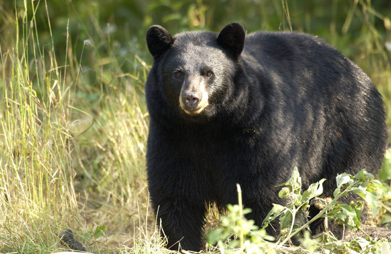 Michigan DNR Photo  Attacks by black bears are rare, according to Lynn Rogers, principal wildlife biologist at the Wildlife Research Institute in Ely, Minn. After seeing enough bears bluster without attacking, Rogers says he has lost his fear of them.