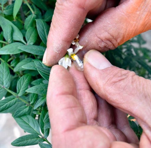 Tina M. Gohr/The Post-Crescent via AP This photo shows Charles Fernandez using a half of a gel capsule to collect pollen from a male plant and dips the stigma of the female flower into the capsule to complete the pollination.