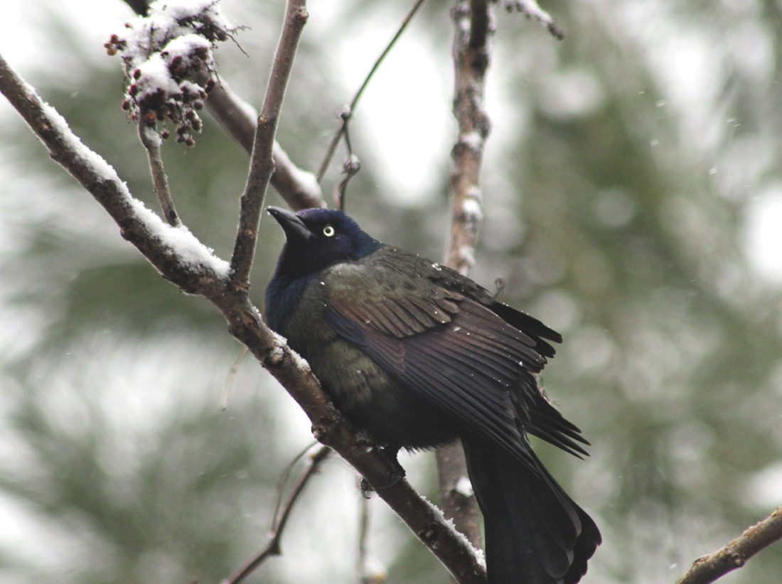 weather-snowy-grackle