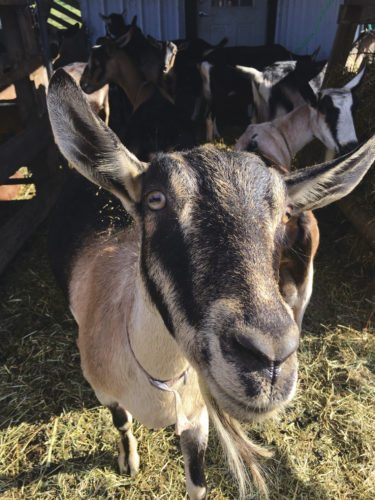 Journal photos by Katiann Marshall A goat approches the camera for a close up at Shepherd's Whey Creamery in Martinsburg.