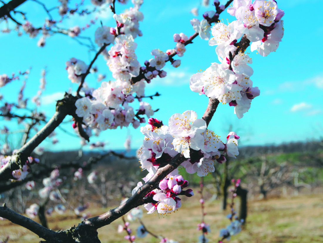 Journal photos by Ron Agnir Apricot flowers are in full bloom after warmer than normal winter weather has rushed their blooming Friday in Gerrardstown. Unlike this season, Apricots tend to flower early in March.