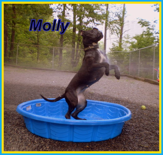 Humane Society of Morgan County: Molly is a sweet Lab-Pitt mix. Molly loves to play in water and with toys. She is spayed and up to date on her vaccines. Molly weighs about 50 pounds and is about 2-years-old. Meet Molly at the Humane Society of Morgan County- 304-258-5592.