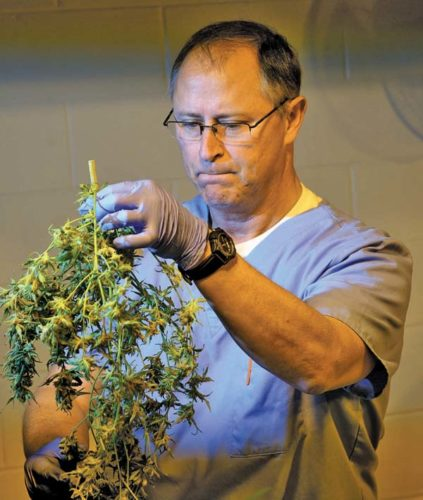 Director  of Horticulture and head  cultivator for Vireo Health  of New York Chuck Schmitt holds up a cannabis plant. (File photo)