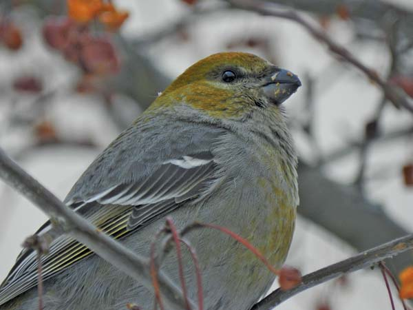 Pictured above is a female Pine Grosbeak. This is another northern finch, and Hunt said early signs this winter are that there might be a few more around than the last couple of years.  (Photo courtesy of Pam Hunt)