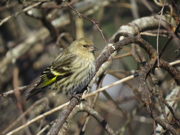 In the photo is a Pine Siskin. These are finches that breed farther north, and in some years show up on the CBCs in high numbers. As the local coordinator, Hunt said one of the year's she did the CBC, almost 1,000 were recorded in in Bleecker. (Photo courtesy of Pam Hunt)