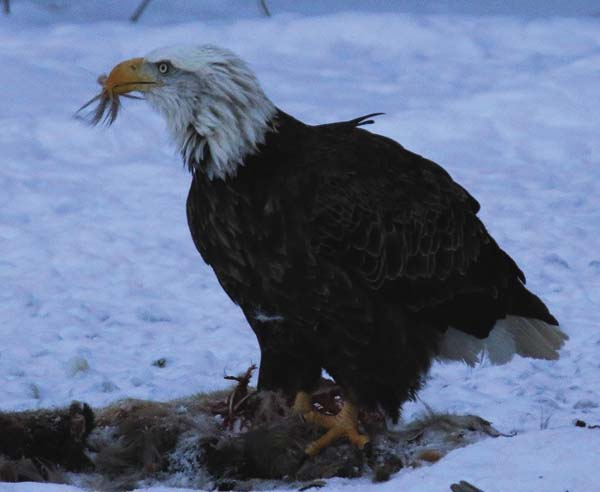 An American eagle eating from a deer carcass in Hope Falls. (Photo courtesy of Dawn Carman)