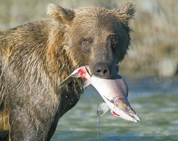 Larry Master took numerous photos of brown bears feeding on salmon in Katmai National Park in Alaska while in 2011. (Photo courtesy of Larry Master Ñ Masterimages.org)