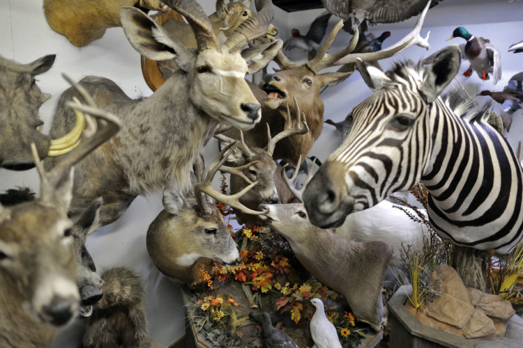 In this Nov. 16, 2016 photo, various animal mounts appear inside Nature's Touch taxidermy shop in Janesville, Wis.  Don Rich Sr., 71, has worked on hundreds if not thousands of deer over a 44-year career. He transitioned into the business of taxidermy, at first through a correspondence course he took in the early 1970s. He ran his own business part-time for more than two decades while working full-time at the Chrysler assembly plant in Belvidere, Illinois. (Anthony Wahl/The Janesville Gazette via AP)
