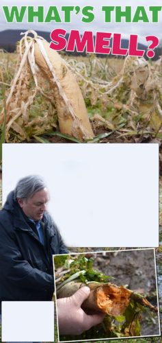 """PAUL GARRETT/FOR THE EXPRESS At top and at right: A close-up of the rotting Tillage Radish that is at the """"root"""" of the unusual smell in the Jersey Shore area. Above:Taylor A. Doebler, owner of T.A. Seeds in Avis, stands in a field owned by the Crist family, and explains the reason for the smell in the area, while holding one of the plants."""