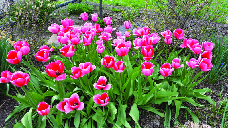 PHOTO PROVIDED Tulips are a favorite in the spring, but not all varieties will bloom year after year.